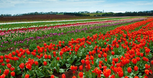 Tulip Fields - Tasmania